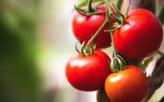 Среднеранний высокоурожайный сорт помидор сибирской селекции олеся