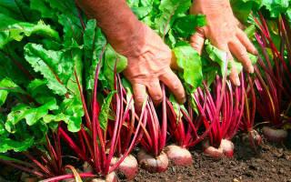 Как посадить свеклу весной семенами полезные советы от агрономов