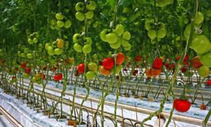Как и зачем подвязывать помидоры в теплице из поликарбоната