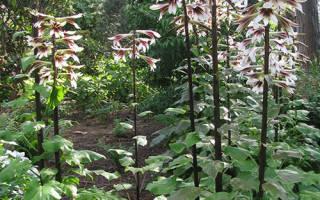 Выращивание лилейного дерева правильная посадка и секреты по уходу