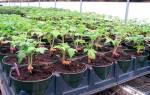 Основы выращивания помидоров в теплице