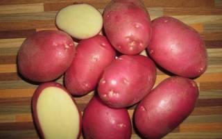 Описание и особенности выращивания картофеля сорта рокко