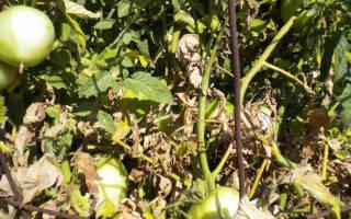 Фузариоз томатов эффективные меры борьбы