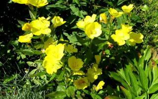 Особенности выращивания энотеры в саду