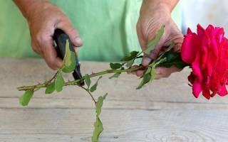 Особенности выращивания роз как вырастить розу из букета