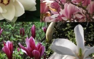 Как посадить и вырастить магнолию суланжа на своем участке