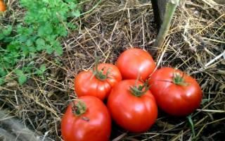 Как посадить и вырастить томат подснежник