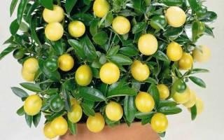 Правила посадки и ухода за лимоном в домашних условиях