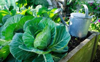 Как ухаживать за капустой после высадки в открытый грунт