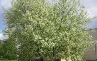 Описание популярных сортов черемухи для выращивания в саду с фото