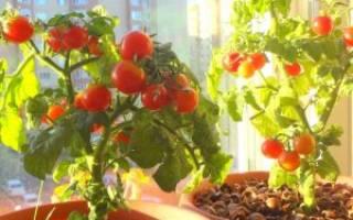 Как посадить и вырастить томат балконное чудо