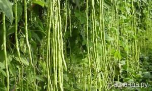 Спаржевая овощная фасоль вигна  особенности выращивания
