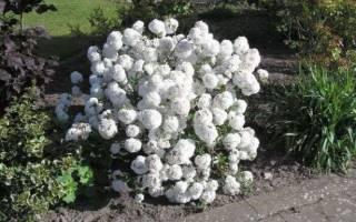 Выращивание декоративной калины как размножить бульденеж