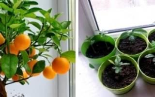 Какой мандарин вырастить дома