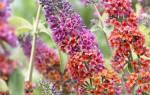 Основные виды будлеи которые выращивают в садах