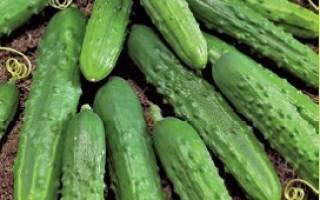Технология выращивания огурца пальчик