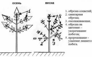 Особенности выращивания дейции правила посадки и ухода