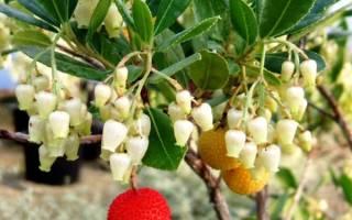 Выращивание земляничного дерева из семян практичные советы