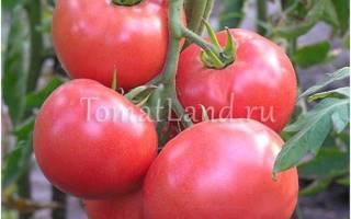 Урожай и вкус помидоры сорта корнеевский
