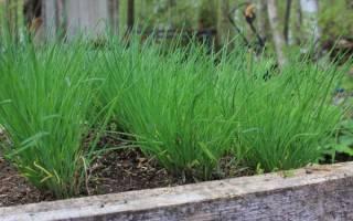 Общие советы по выращиванию и популярные виды многолетнего лука