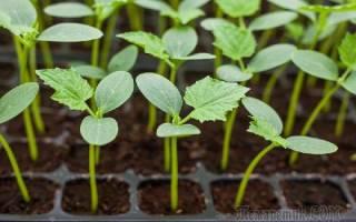 Как правильно посадить огурцы на рассаду выращивание в домашних условиях