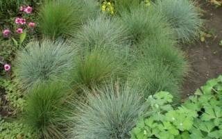 9 лучших декоративных трав для клумбы