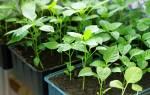 Болгарский перец как вырастить качественную рассаду