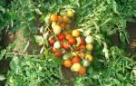 Описание и выращивание томата гном для открытого грунта