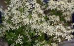 Клематис маньчжурский ломонос лозинка выращивание вьющегося растения дома