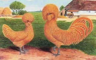 Голландская белохохлая описание породы