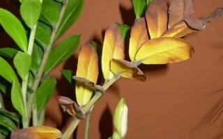 Почему желтеют листья замиокулькаса