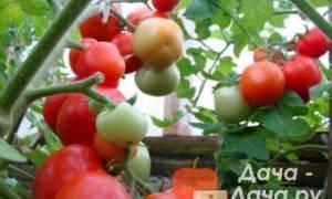 Как посадить и вырастить томат вождь краснокожих