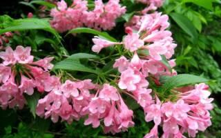 Секреты успешного выращивания вейгелы