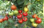 Характеристика и особенности выращивания томатов красная гвардия