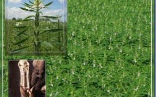 Выращивание и применение кунжута