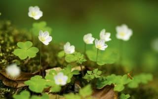 Самые распространенные виды кислицы описание и фото растений