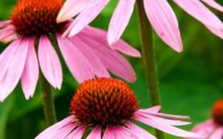 Выращивание эхинацеи пурпурной посадка и уход
