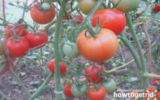 Как посадить и вырастить томат таймыр