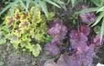 Как вырастить гейхеру из семян размножение удивительного растения