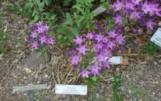 Выращивание трителейи уход за редкими луковичными растениями