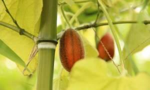 Тладианта экзотический красный огурец