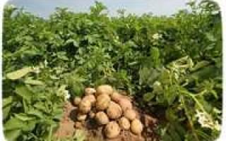 Лучшие советы по выращиванию картофеля в сибири