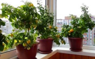 Выращивание помидоров черри как вырастить томаты прямо на подоконнике
