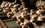 Как выращивать шиитаке в домашних условиях