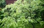 Клён серебристый характеристика и особенности агротехники