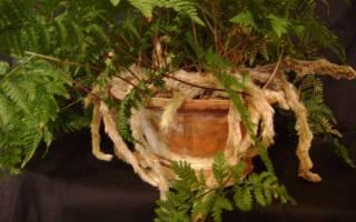 Выращивание даваллии в домашних условиях