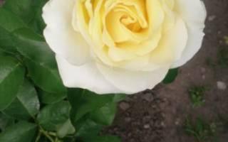 Описание особенности посадки и уход за розой шопен