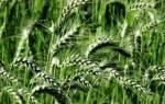Чем и как подкармливать озимую пшеницу