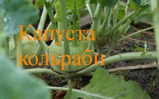 Кольраби cорта капусты