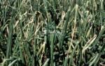 Как бороться с вредителями репчатого лука
